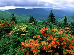 Free Flame Azaleas In Bloom Appalachian Trail North Carolina Wallpaper