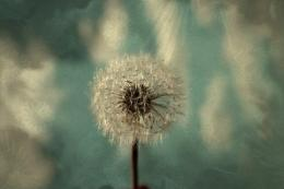 Photography Dandelion Art