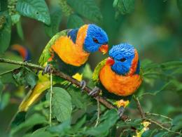 Colorful birds desktop wallpaper which is very nice and these 562