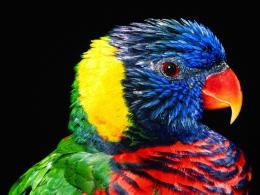 Rainbow Colorful Parrot Bird Wallpaper 294