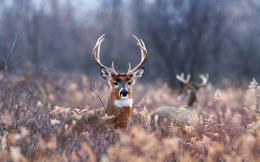 Deer wallpapers hd 554