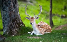 AnimalsDeer HD Wallpaper Free Download