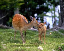 Deer hd wallpapers 609