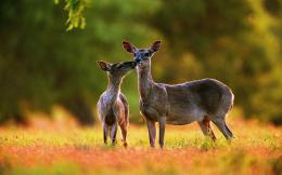 Animal deer hd wallpapers 755