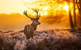 Deer HD Wallpapers 367