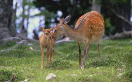 Animal pictures deer wallpapers hd photos deer wallpaper 9 jpg