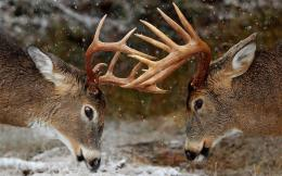 Deer hd wallpapers 4489