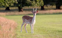 Deer Wallpapers 922