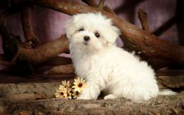 hd dog wallpaper with a cute little maltese dog background jpg