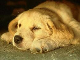 Tired Dog HD Wallpaper