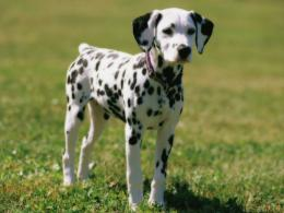 dalmatian dog hd wallpapers cool desktop backgrounds widescreen