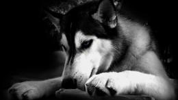 Huskies dogs hd wallpapers cool desktop widescreen photos