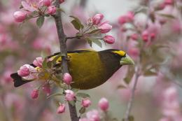 Evening Grosbeak Wallpapers 1432