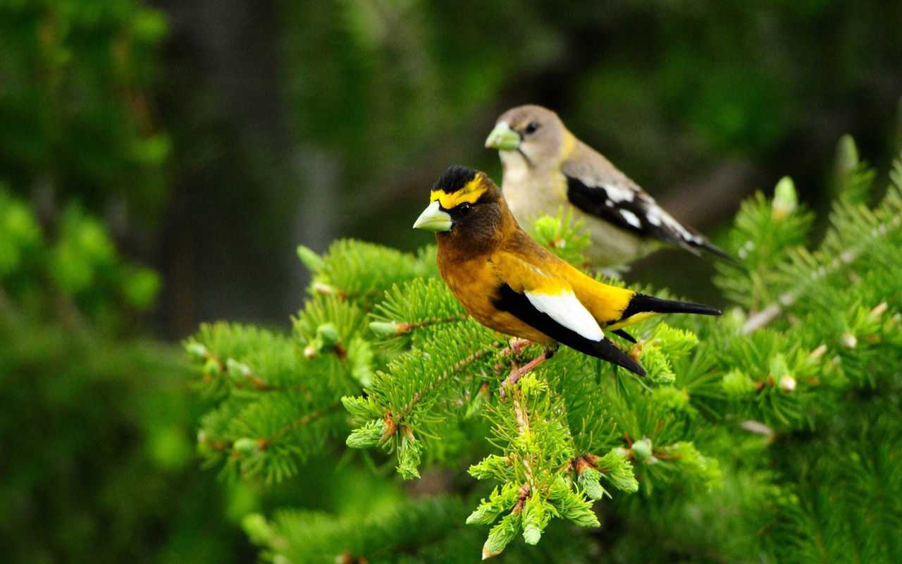Download Evening Grosbeak wallpaper 305