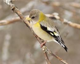 Evening Grosbeak Wallpapers 348