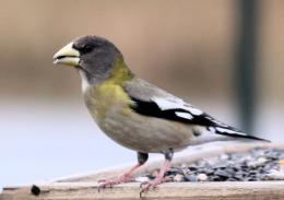 Evening Grosbeak Wallpapers 605