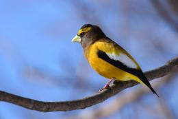 Evening Grosbeak Wallpapers 1961