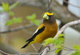 evening grosbeak high resolution wallpaper download evening grosbeak 530