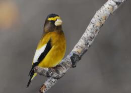 Evening Grosbeak Wallpapers 329