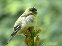 evening grosbeak high resolution wallpaper download evening grosbeak 1973