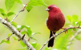 cute red evening grosbeak bird hd wallpaper download evening grosbeak 1787