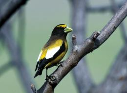 Evening Grosbeak Wallpapers 825