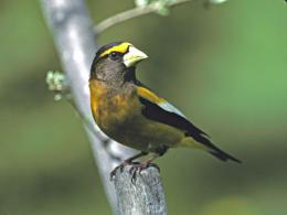 evening grosbeak wide hd wallpaper download evening grosbeak images 1182