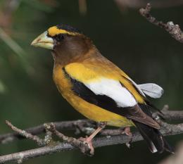 Evening Grosbeak HD Wallpapers 1058