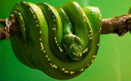 Green Tree Boa WallpaperAnimal Lovers Picture 1811