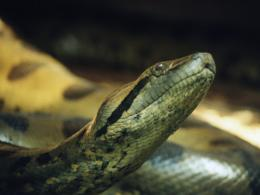 Anaconda Snake Rare Wallpapers 705
