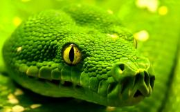 Download Green snake 1280x800 Wallpaper 289