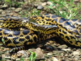 Anaconda Snake Rare Wallpapers 113