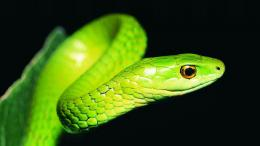 Bamboo Green Snake – HD Black Wallpaper 1046