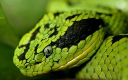 Exotic Snake Wallpapers 1722
