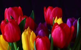 beautiful tulip flowers hd wallpapers cool desktop background images