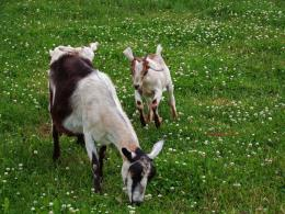 goat wallpapers hd 2013 06 24t03 39 00 07 00 rating 4 5 diposkan oleh
