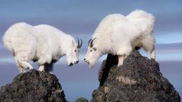 Mountain Goat Widescreen Hd Wallpapers