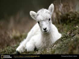 goat baby top hd wallpaper desktop goat hd wallpaper goats
