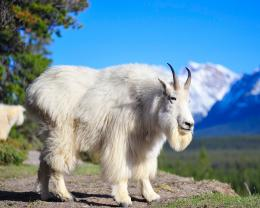 02:55 Beautiful Animal Goat Wallpapers HD No comments