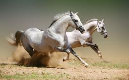 Andalusian Horse HD Wallpapers