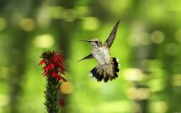 Wallpaper: Birds wildlife hummingbirds 390