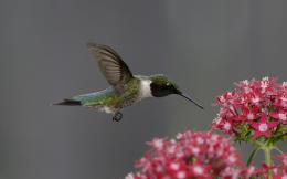 hummingbird wallpaper hd 1323