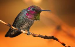 Rufous Hummingbird HD Wallpapers 1503