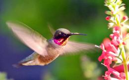 hummingbird wallpapers hd 1160