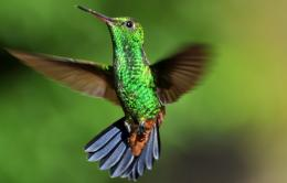 Hummingbird HD Wallpapers 1041