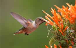 Hummingbird HD Wallpapers 402