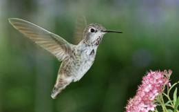 Hummingbird HD Wallpaper 1885