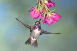 Bee Humming Bird HD Cool Wallpaper 1981
