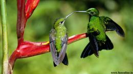 Green Hummingbird Couple HD Wallpaper 597