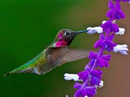 humming bird wallpapers free 1080p HD Backgrounds 2014 450